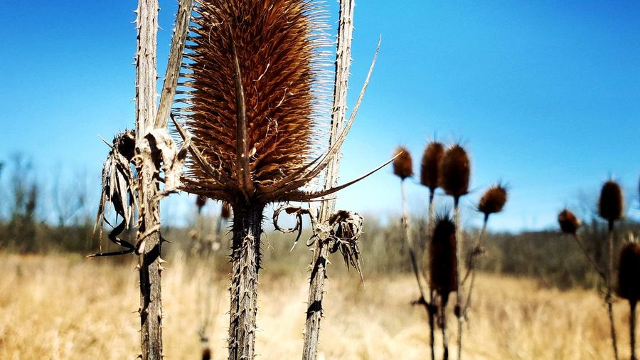Close-up of stalks on field against clear sky