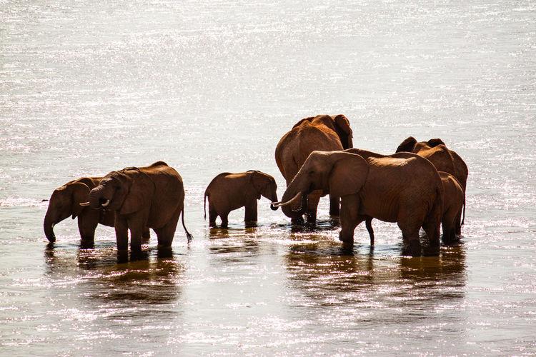 Africa Animal Animal Family Brown Day Herbivorous Livestock Mammal Medium Group Of Animals National Park Nature Nature No People Outdoors Safari Safari Animals Tsavo Water Wild Animal Zoology