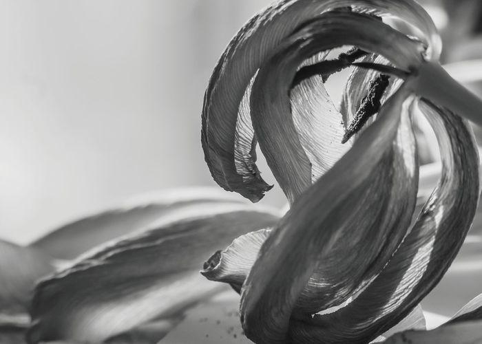 Fujifilm X-M1 mit Cosina Cosinon-W 24mm 2.8 und KenkoExtensionTubes... Indoors  Indoor Photography Fiftyshades_of_nature Magic_marvels Shotwithlove Moody Nature EyeEmMagazine Fujifilmdeutschland Fujifilmglobal Fujifilmxm1 Dofnature Chip_foto_video Explore_dof Jacqueline Schreiber No People Focus On Foreground Tulip Fujifilm Fujifilm_xseries Futuristic Close-up Monochrome
