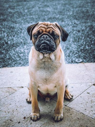 Portrait of a dog sitting on footpath
