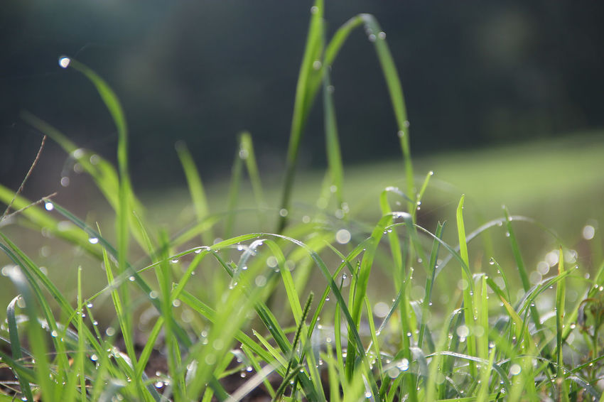 water droplets on grass Green Light Beauty In Nature Bokeh Close-up Day Drop Droplet Focus On Foreground Fragility Freshness Grass Green Color Growth Nature No People Outdoors Plant Sharp Tranquility Water