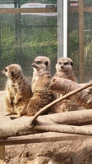Meerkats at Tropical World Letterkenny Tropical Letterkenny Ireland Donegal Wildlife Outdoors Animals Meerkat Nature Animal Themes Animals In Captivity Zoo Animal Photography