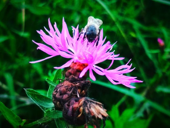 Flower Flower Head Bee Pollination Perching Leaf Insect Purple Thistle Honey Bee