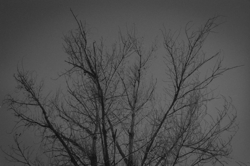Like Veins Analog Analogue Photography Bare Tree Beauty In Nature Black And White Blackandwhite Branch Day Grain Low Angle View Nature No People Outdoors Sky Tranquility Tree