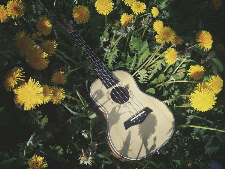 Ukulele Ukulele Time Ukulele Lover Ukulelelove Summer Summer Time  Dandelions Dandelion Flowers Flower Collection Flower Strings Of Music Strings Music Musical Instrument Yellow Green Fotorus Beautiful Eye4photography  EyeEm Best Shots No People Nature EyeEm Gallery Musica Russian