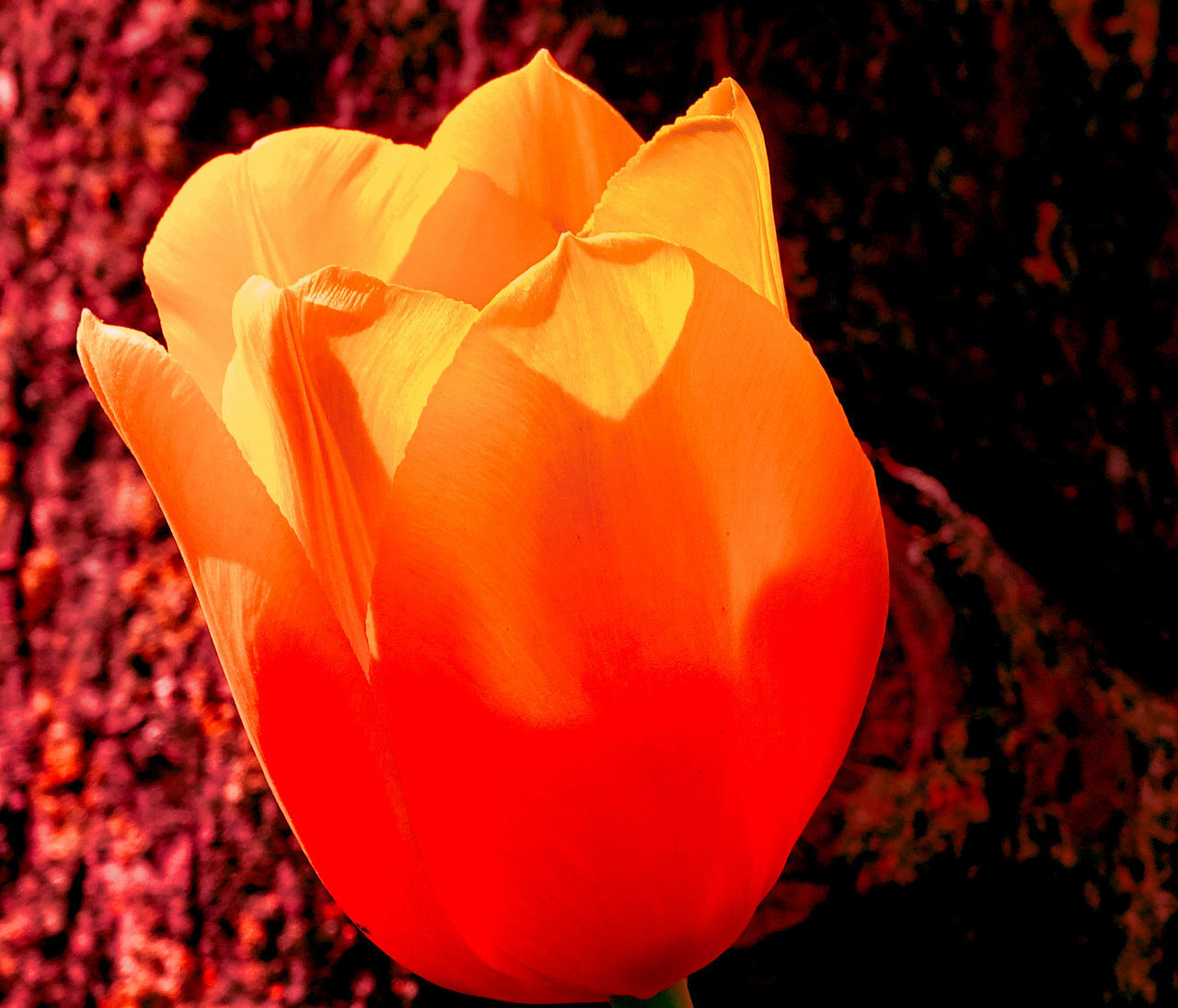 flower, petal, flower head, orange color, fragility, nature, beauty in nature, freshness, close-up, blooming, outdoors, growth, rose - flower, focus on foreground, no people, plant, day
