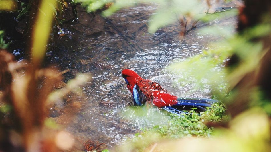 bathing crimson rosella Bird Native Bird Of Australia Native Birds Bird Photography Australian Bushland Australia Crimson Rosella Bath Bath Time Bathing Tree Leaf Full Length Close-up