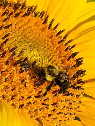 Bee working hard in a sunflower Animal Themes Animal Yellow One Animal Invertebrate Animal Wildlife Animals In The Wild Flowering Plant Petal No People Insect Flower Beauty In Nature Growth Close-up Flower Head Pollination Pollen Bee Fragility