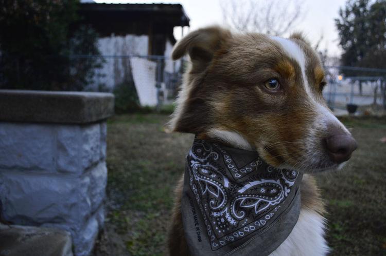 Charlie Dog Shepherd