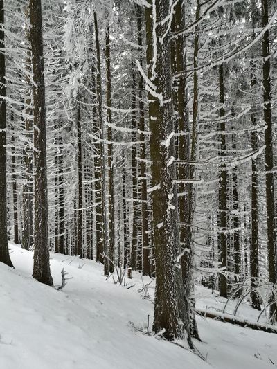 Forest Snow Winter Cold Temperature Nature Tree