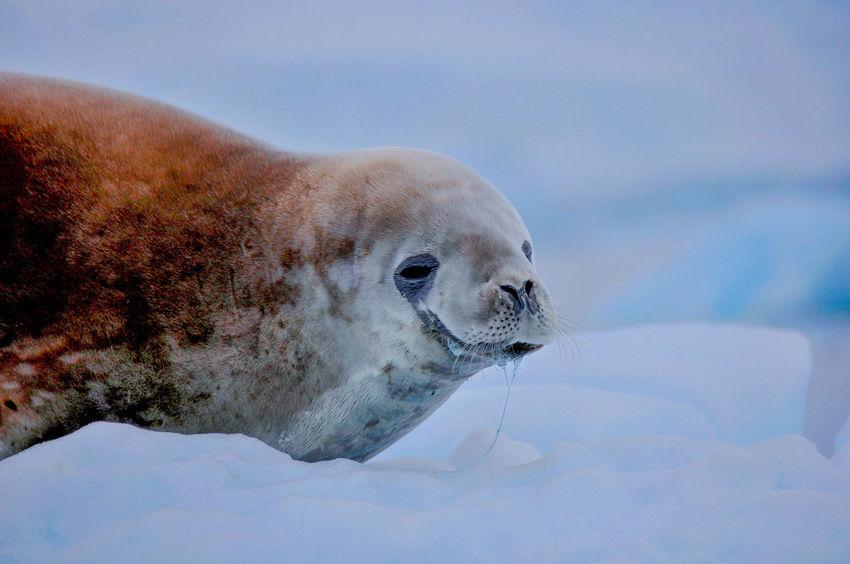 Antarctica Nature Iceberg Ziseetheworld Ziwang Ice Antarctic Peninsula Weddell Seal Weddel Sea