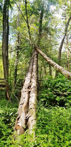 3 trees fall between 2 Nature Photography Outdoors Glen Hilton Park Green Nature Fallem Logs Nature Tree Branch Sunlight Tree Trunk Leaf Grass Close-up Green Color Woods Green