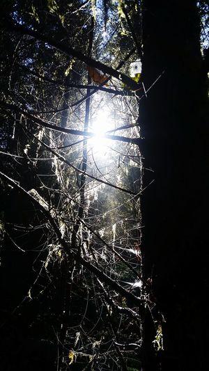 Spiderweb Tree.