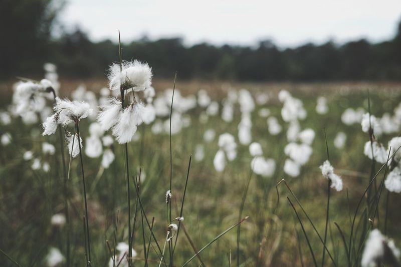 Close-Up Of White Dandelion Flower On Field