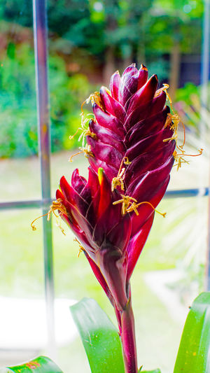 Beauty In Nature Close-up Day Flower Flower Head Focus On Foreground Fragility Freshness Growth ICE PLANT Maroon Nature No People Outdoors Petal Plant Water