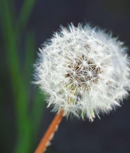 Dandelion Fluff Fluffy Beauty In Nature Dandelion Seed わた毛 蒲公英