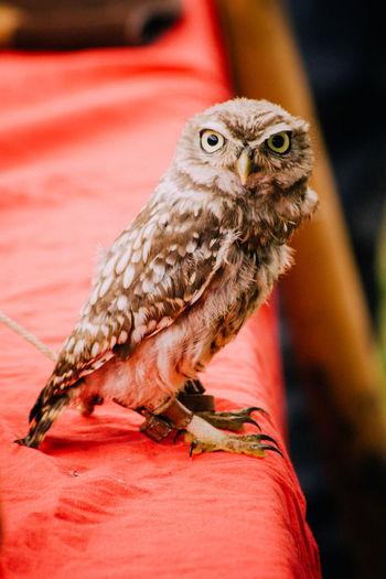 Portrait Of Owl Perching In Zoo
