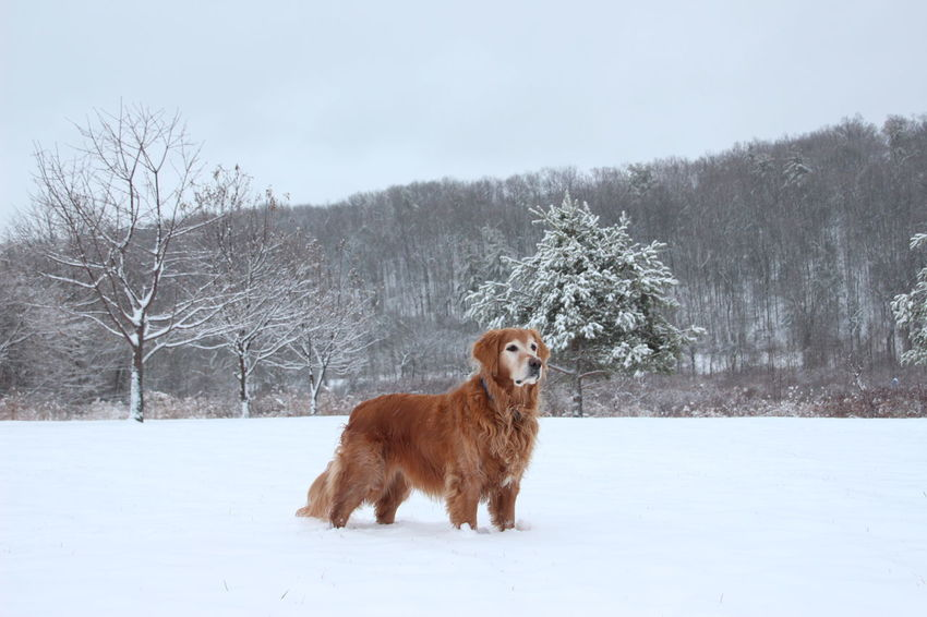 our golden retriever surveying the property in his favorite season! Golden Retriever Animal Themes Beauty In Nature Cold Temperature Day Dog Domestic Animals Field Landscape Mammal Nature No People One Animal Outdoors Pets Snow Tree Weather Winter