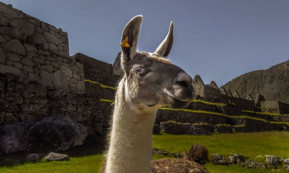 Animal Themes Llama One Animal Outdoors Day Mammal No People Domestic Animals Livestock Sky Portrait Nature Clear Sky Grass Ancient Civilization
