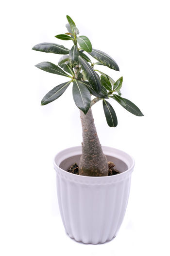 Ficus Virens Office Plants Plant Tree Botany Ficus Fig Garden Indoor Plants No People Studio Shot White Background