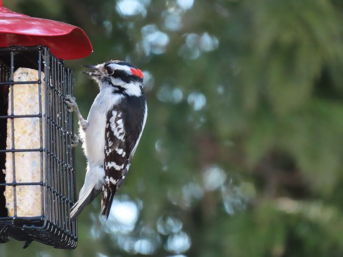 Downy woodpecker closeup perched on the EyeEm beauty in nature outdoors animal themes focus on the foreground feeder Birds Bird Animal Wildlife One Animal Woodpecker Full Length No People