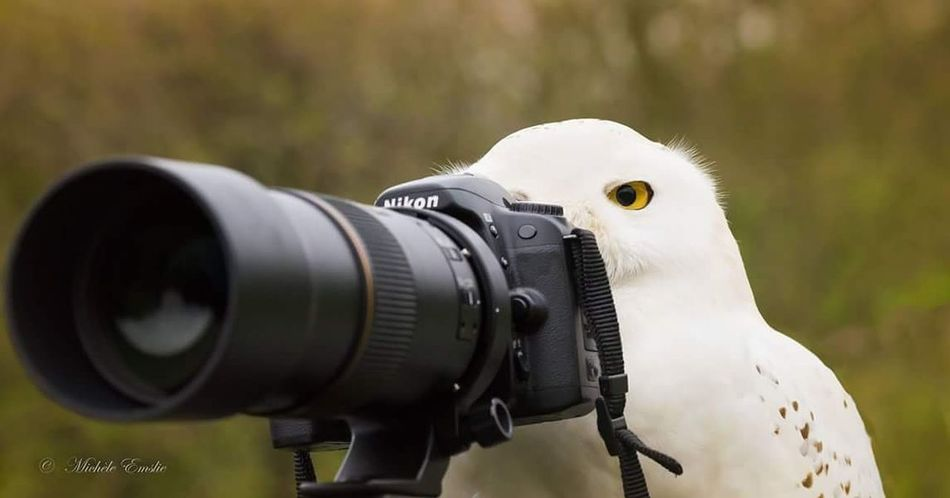 A birds eye view...... Taking Photos Check This Out Animalsofinstagram Animal Head  Animallovers Animal Photography Owls Owls Are Cute Owls💕 Owlsome Birds Birds_collection Birds Of EyeEm  Birds Of Prey Snowy Owl Behind The Lens