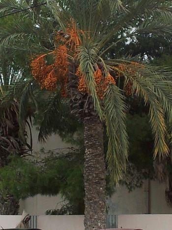 Palmier avec les dattes