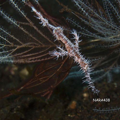 Hairyghostfish INDONESIA Bali Tulamben macro loveindonesia android underwaterfotografi scubadiving