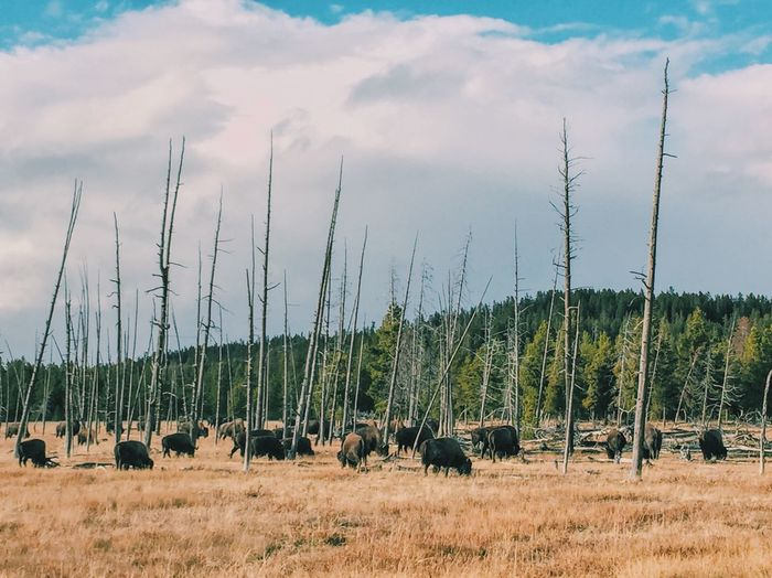 Bison grazing on field against cloudy sky at yellowstone national park