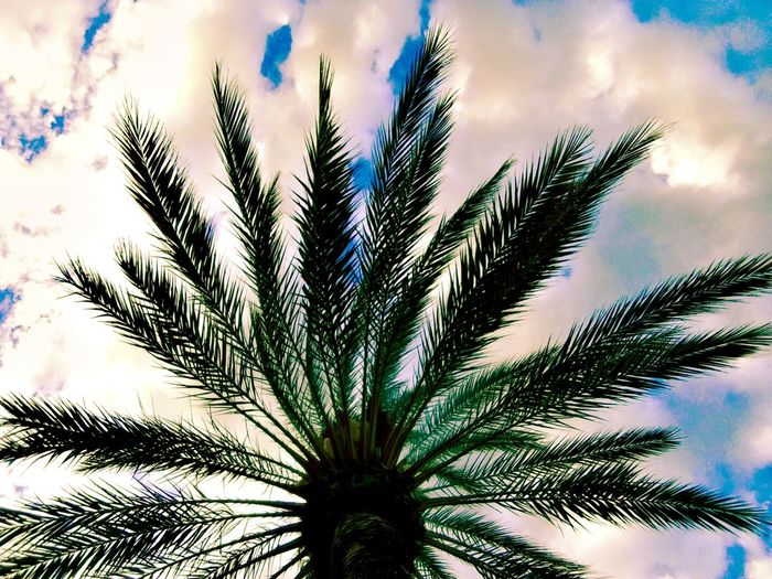 Growth Nature Sky Cloud - Sky Tree Outdoors Day Palm Tree Plant No People Beauty In Nature Blue White