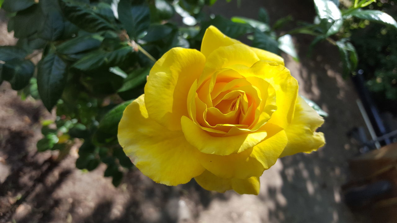 CLOSE-UP OF YELLOW ROSE AGAINST BLURRED BACKGROUND