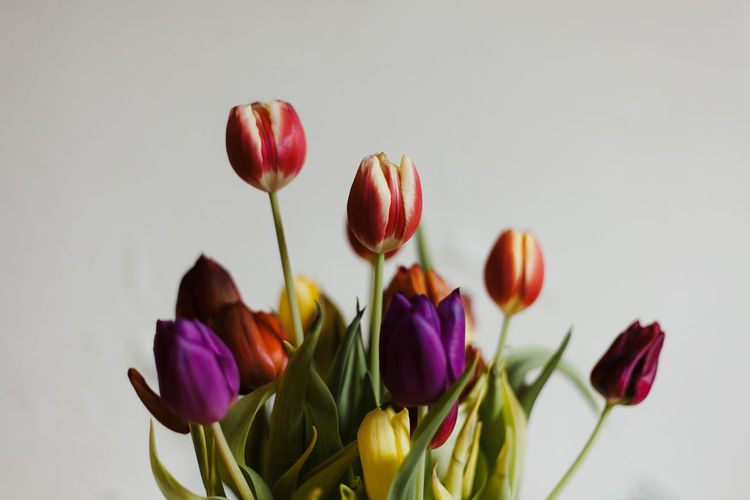 Close-up of purple tulips against white background