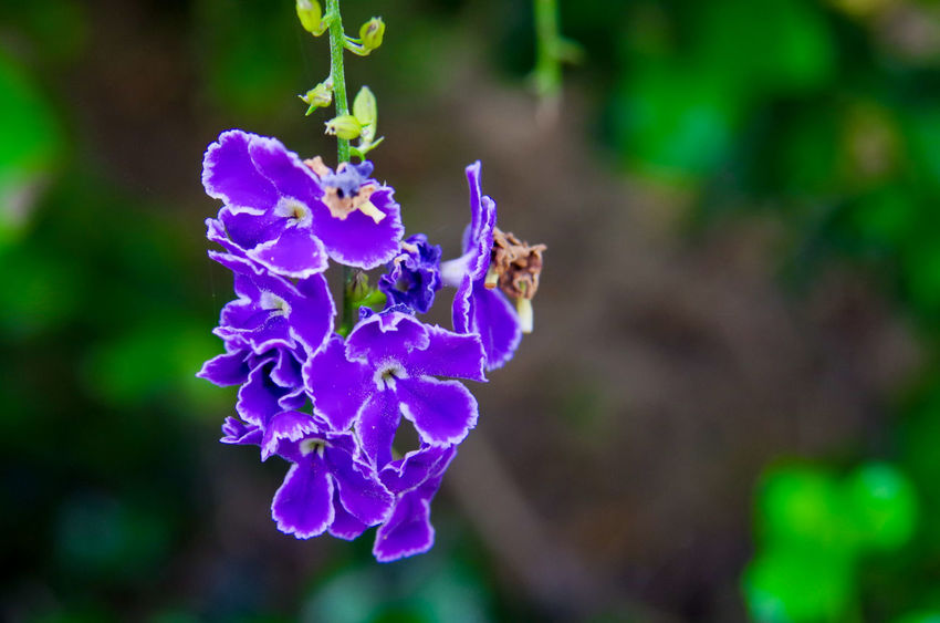 lovely flower Flower Flowering Plant Fragility Plant Purple Vulnerability  Freshness Beauty In Nature Close-up Petal Nature Flower Head Focus On Foreground Inflorescence Day No People Outdoors Blue One Animal Pollination Sky Flower Golden Dew Drop Pigeon Berry Duranta Verbenaceae
