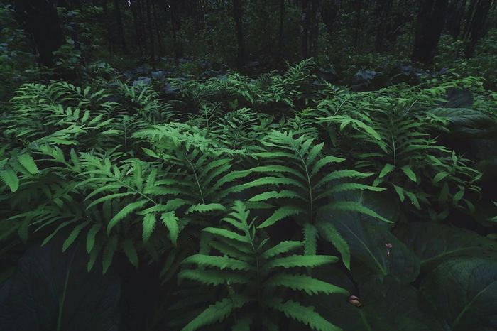 🌿🐛 Growth Nature Leaf Green Color Pine Tree Tree Plant Pinaceae Outdoors Forest No People Day Fern Beauty In Nature Freshness Close-up The Great Outdoors - 2017 EyeEm Awards Nature EyeEm Nature Lover Beauty In Nature Peace And Quiet Ferns Forestry Landscape