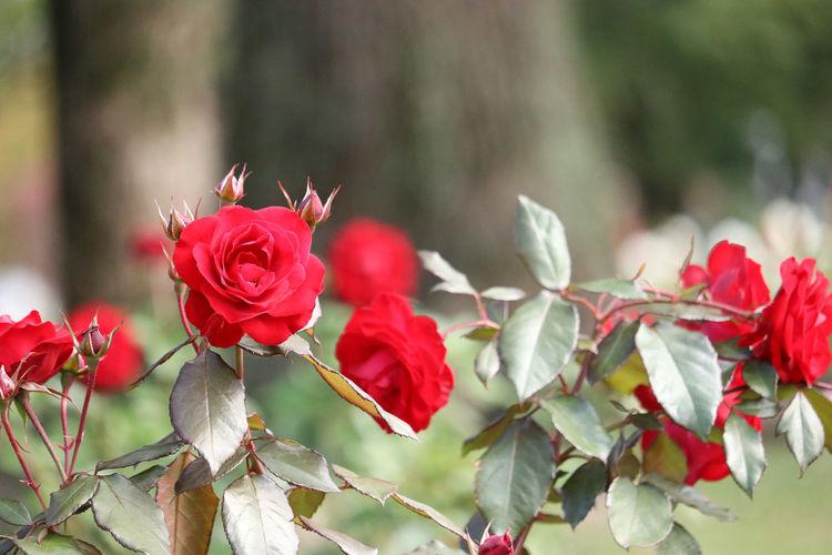 Red Flower Nature Rose - Flower Plant No People Leaf Petal Beauty In Nature Day Outdoors Tree Poppy Close-up Flower Head Bird Freshness 日本 Japan バラ園 花 カメラ女子 バラ 美しい お写ん歩
