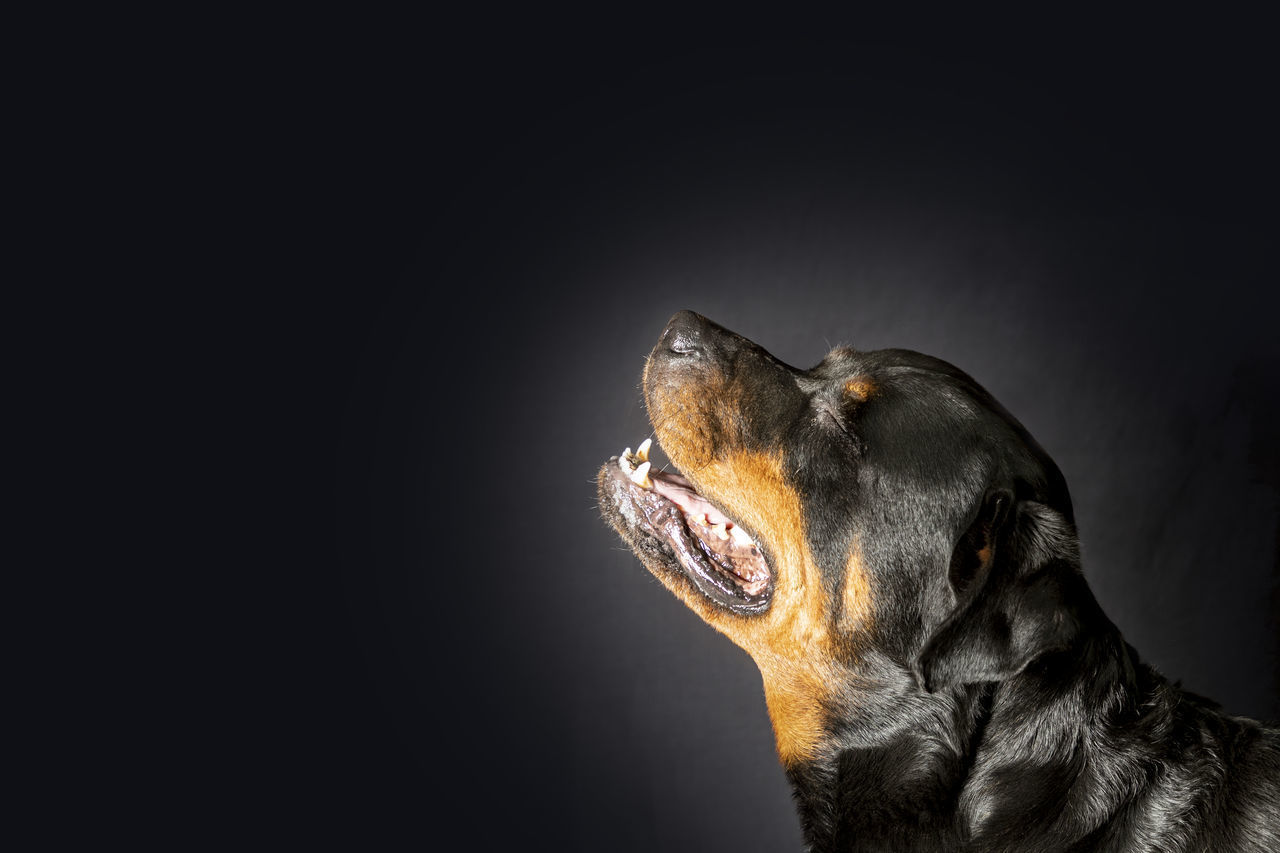CLOSE-UP OF DOG OVER BLACK BACKGROUND