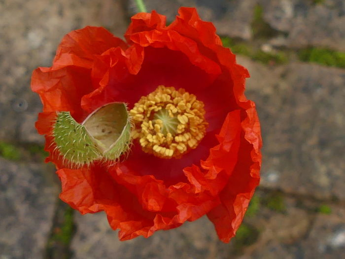 Red Nature Plant Red Poppy Flower Head Nature Beauty In Nature Close-up Poppy Red Freshness FlowerOutdoors Fragility No People Poppy Flower Red Flower Petal Growth Plant Day EyeEmNewHere