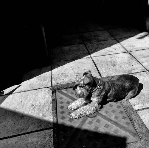 Schnauzer Dog High Angle View Shadow Sunlight No People Toy Flooring One Animal Tiled Floor Footpath Vertebrate Indoors  Day Sidewalk Nature Representation Pets Canine