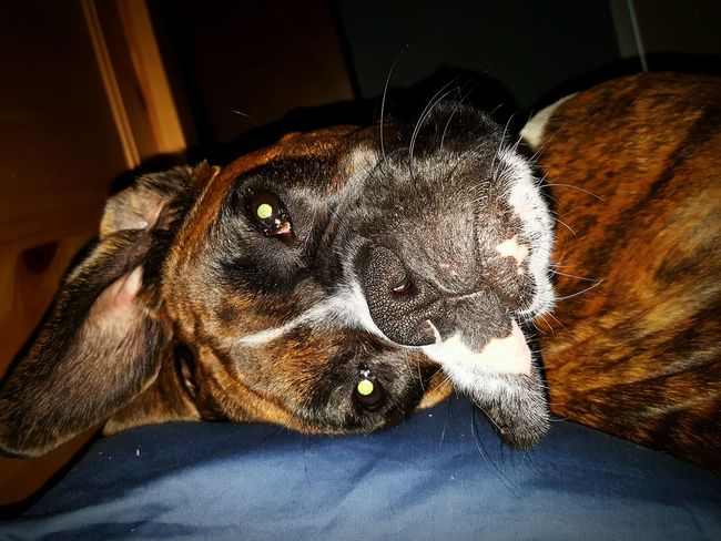 The first face I see when I wake. Pets Dog Animal Head  Close-up Boxer Boxer Dogs Boxer Dogs Rule Boxersarebest Brindle Boxer Dogs Of EyeEm Dog Love No People Animal Themes