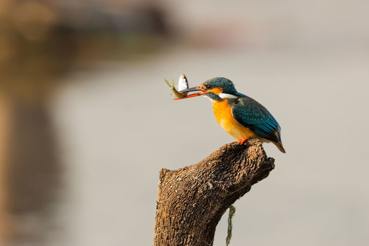 早餐 Bird Perching Multi Colored Kingfisher Animal Themes Close-up