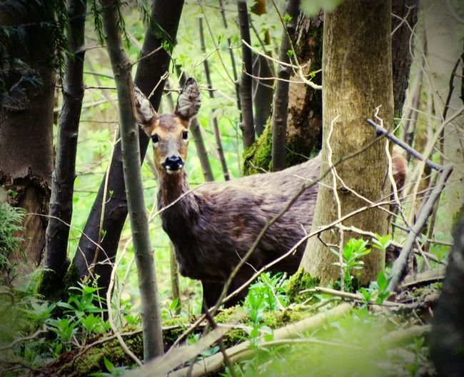 Hello deer! In Witcombe Wood near Birdlip. Enjoying Life Hello World Check This Out Deer In The Woods Nature