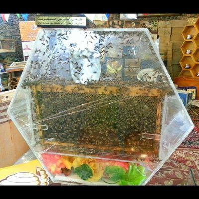 نحل يقوم ببناء خلية داخل قالب زجاجي في مهرجان العسل 1435هـ @iaseeer @iabha Iaseeer Hesabatjnobia Abha