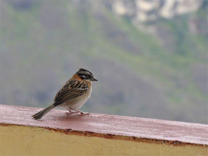 Sparrow enjoying the view at the Mirador de Huancas, close to Chachapoyas, Peru. Amazonas Animal Animal Wildlife Animals In The Wild At The Edge Of Bird Close-up Focus On Foreground Huancas Nature Outdoors Songbird  Sparrow