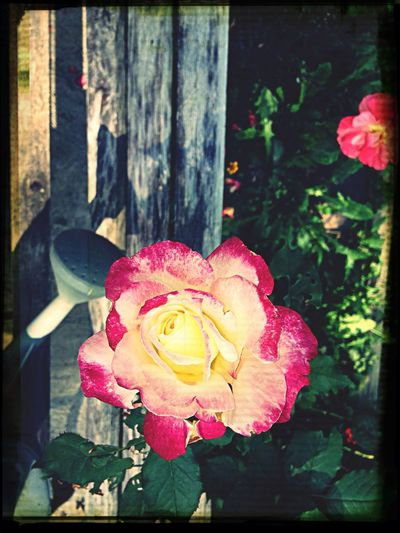 Soaking Up The Sun Peppermint Rose Virginia Silent Riches