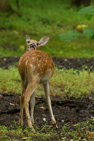 A single young deer, with its head backwards Animal Themes Animals In The Wild Contortion Curiosity Day Deer No People One Animal Wildlife