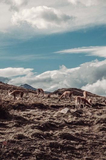 Llamas walking on hill against sky