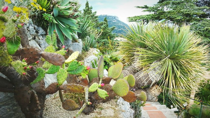 Côte d'Azur Growth Cactus Plant Nature Beauty In Nature Outdoors Green Scenics Garden Harmony My Favorite Place Eze Côte D'Azur France Mediterranean  Fruits Colors Colorful Life Path Composition EyeEm Nature Lover EyeEm Gallery Beauty Succulent Plant