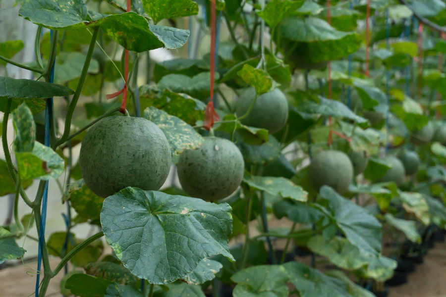 Melons Cantaloupe Close-up Day Focus On Foreground Food Food And Drink Freshness Fruit Green Color Growth Hanging Healthy Eating Leaf Melons On Tree Nature No People Outdoors Plant