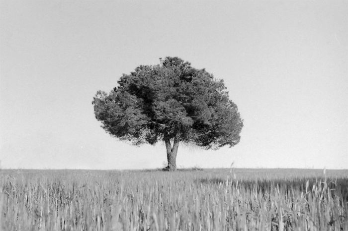 Sky Solitude Landscape Single Tree Nature Tree Growth Clear Sky Tranquility Beauty In Nature Day Outdoors No People EyeEm Atmosphere EyeEm Gallery Tranquil Scene Ametlladelvalles Lone Isolated Field Analogue Photography Catalunya