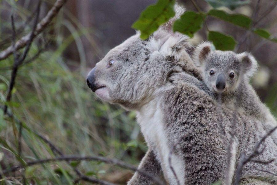Koala Mum & liitle Koala Australia